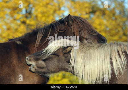 Icelandic Horse (Equus ferus caballus). Two young mares on a pasture, mutual grooming. Germany. - Stock Photo