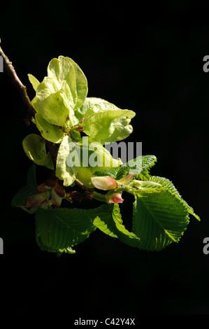 Whych Elm (Ulmus glabra), fruits Stock Photo