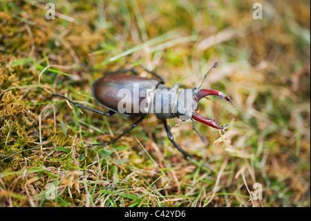 Male Stag Beetle, Lucanus cervus, in a London garden. Britains largest beetle. - Stock Photo