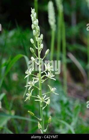 Spiked Star of Bethlehem (Ornithogallum pyrenaicum), flower head - Stock Photo