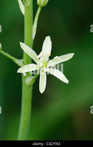 Spiked Star of Bethlehem (Ornithogallum pyrenaicum), single flower - Stock Photo