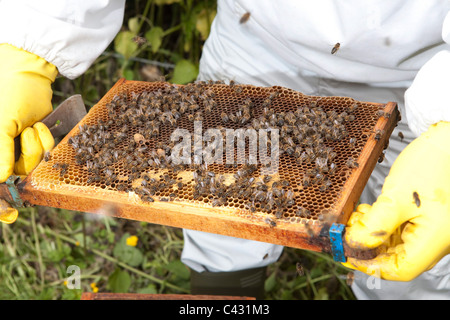 Inspecting a comb. Bee keeping course at Monkton Wylde, Dorset. Course leader is David Wiscombe. - Stock Photo