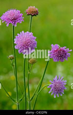 Field Scabious (Knautia arvensis) - Stock Photo
