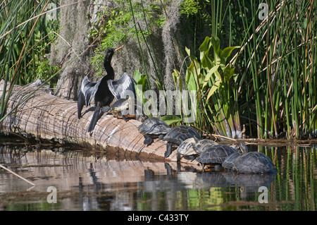 An anhinga bird and several Suwannee cooter turtles sun themselves on a log at Wakulla Springs State Park near Tallahassee - Stock Photo