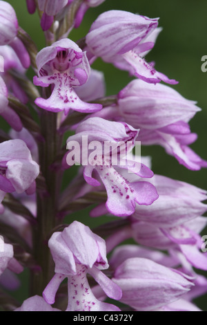 Miliary orchid, Orchis militaris, close-up - Stock Photo
