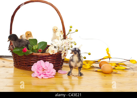 Basket with colorful little fluffy chicks and different flowers on a wood table against white background - Stock Photo