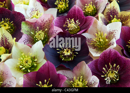 A selection of Hellebore flowers - Stock Photo