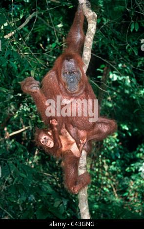 Sumatran orang utan (Pongo pygmaeus abelii: Pongidae) female with baby in rainforest, Sumatra - Stock Photo