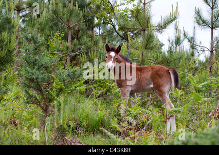 New Forest pony foal, Acres Down, Hampshire, England, UK - Stock Photo