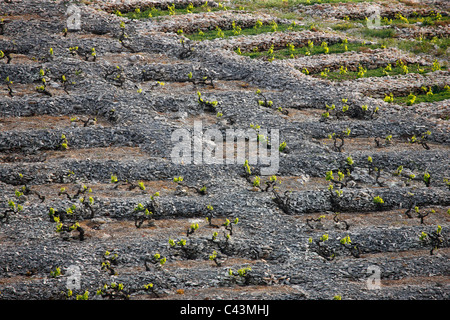 Vineyard in Primosten - Croatia - Stock Photo