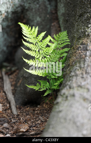 Two fern stems growing from a tree root. The delicate young foliage contrasts with the solidity and scale of the - Stock Photo