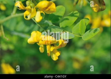 Bladder senna (Colutea arborescens) indigenous to the Mediterranean flowering at spring - Stock Photo