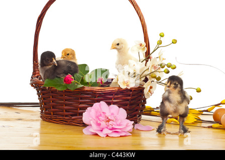 Little chicken in a basket with different flowers isolated on white background - Stock Photo