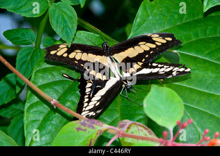 giant swallowtail butterfly, papilio cresphontes, mating, Florida, USA, North America, butterflies, two, couple, leaf, reproduct