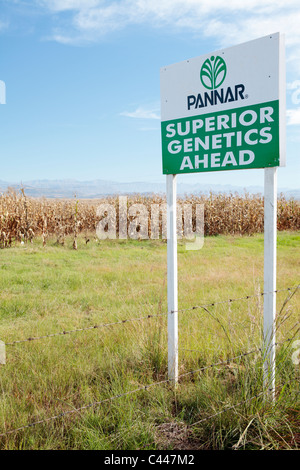 Trial of Genetically Modified Maize Corn Crop - Stock Photo