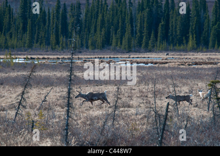 caribou, along Denali Highway, Alaska, North America, animals, two, wood, landscape, walking, USA - Stock Photo