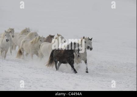 Connemara Pony (Equus ferus caballus), herd of mares in a gallop on snow. - Stock Photo