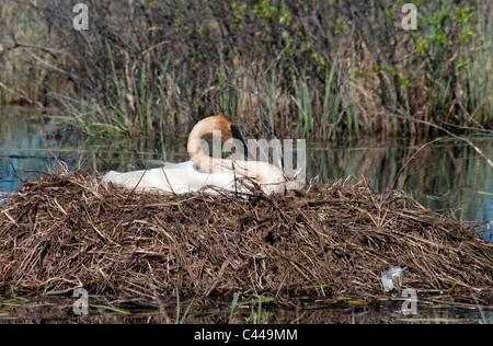 nesting, trumpeter swan, Cygnus buccinator, near Beaver Creek, Yukon, swan, bird, animal, pond, nest, USA, North - Stock Photo