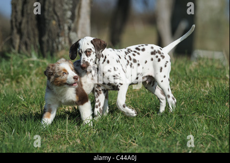 Dalmatian and Australian Shepherd (Canis lupus familiaris). Two puppies playing on a meadow. - Stock Photo