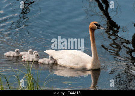 trumpeter swan, cygnets, Cygnus buccinator, Yukon, Canada, North America, chickens, young, America, birds, animals, - Stock Photo