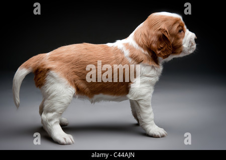 Welsh Springer Spaniel puppies. - Stock Photo