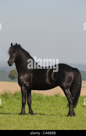 Friesian Horse (Equus ferus caballus). Stallion standing on a meadow. - Stock Photo