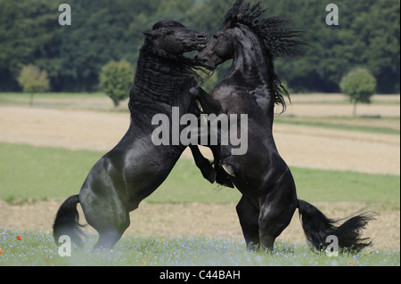 Friesian Horse (Equus ferus caballus). Stallions fighting. - Stock Photo