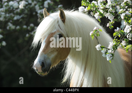 Haflinger Horse (Equus ferus caballus). Portrait of a gelding with long mane next to a flowering apple tree. - Stock Photo