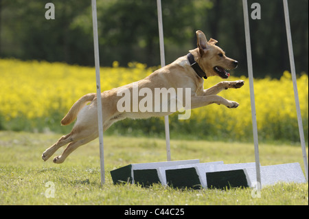 Labrador Retriever (Canis lupus familiaris). Adult leaping over a hurdle in an agility course, broad jump. - Stock Photo