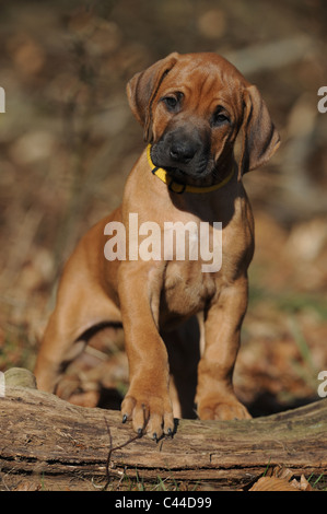Rhodesian Ridgeback (Canis lupus familiaris). Puppy standing. - Stock Photo