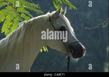 Purebred Arabian Horse (Equus ferus caballus), portrait of a gray stallion. - Stock Photo