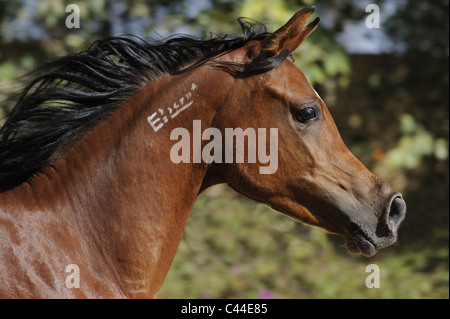 Purebred Arabian Horse (Equus ferus caballus), portrait of a bay mare. - Stock Photo