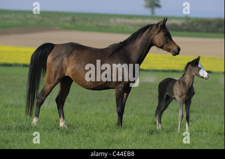 Purebred Arabian Horse (Equus ferus caballus), mare with foal on a meadowe. - Stock Photo