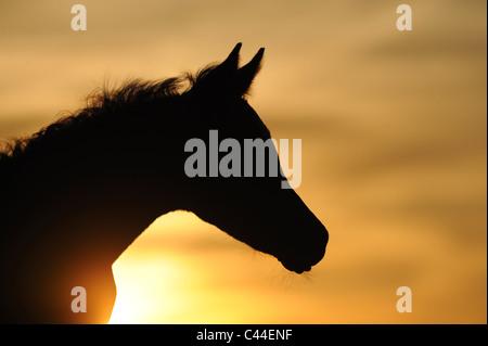 Purebred Arabian Horse (Equus ferus caballus). Foal silhouetted against the setting sun. - Stock Photo
