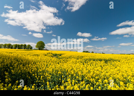 A massive rapeseed field in full bloom on the outskirts of Dublin, Ireland.