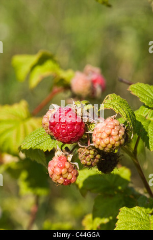 ripe and unripe raspberries and leaves on branch - Stock Photo