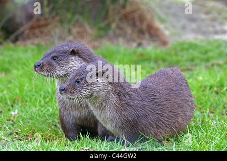 PAIR OF  OTTERS LUTRA LUTRA   SPRING - Stock Photo