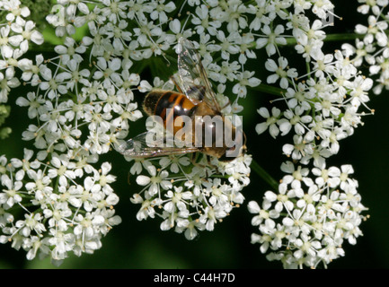 Hoverfly or Drone Fly, Eristalis tenax, Syrphidae, Diptera. A Common Type of Hoverfly. Male. - Stock Photo