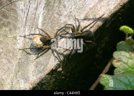 Male and Female Wolf Spider with Egg Sack, Pardosa lugubris, Lycosidae (wolf spiders), Araneae (spiders), Arachnida - Stock Photo