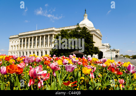 WASHINGTON DC, USA - Colorful, multi-colored tulips in full spring bloom in front of the US Capitol Building in - Stock Photo