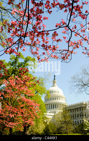 WASHINGTON DC, USA - Brightly colored trees with spring blooms frame the US Capitol Dome in the distance in Washington - Stock Photo