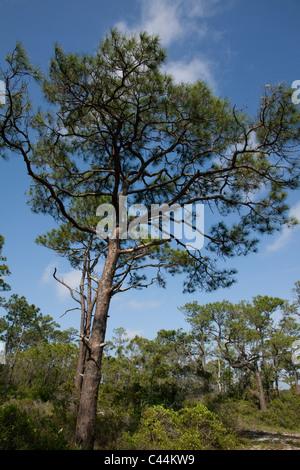 Slash Pine pinus elliottii Maritime forest St George Island State Park Gulf of Mexico Florida USA - Stock Photo