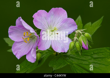 Wild Geranium maculatum flowers and flower buds Spring Eastern United States and Canada - Stock Photo