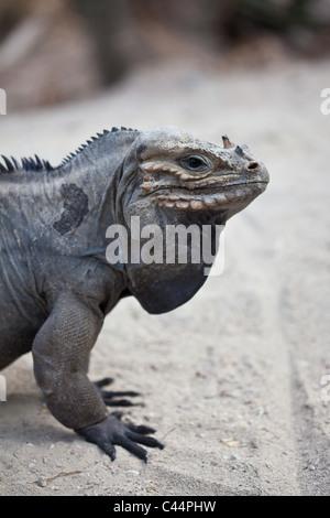 Rhinoceros Iguana, Cyclura cornuta, Isla Cabritos National Park, Lago Enriquillo, Dominican Republic - Stock Photo