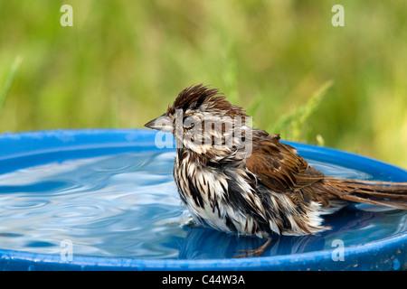 Song sparrow in a bird bath - Stock Photo