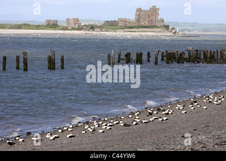 Eider Ducks Resting On The Beach With Piel Castle As The Backdrop, At Walney Island, Cumbria, UK - Stock Photo