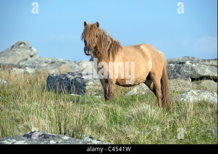 Great Britain, England, Cornwall, Bodmin Moor, pony on Rough Tor hill - Stock Photo