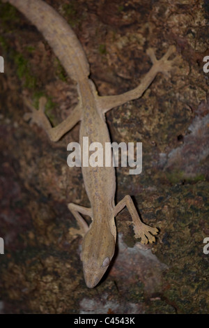 Leaf-tailed Gecko (Uroplatus sp. ). Eastern rainforests, Madagascar. Nocturnal. - Stock Photo