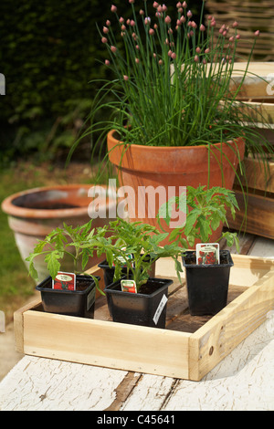 Tomato Seedlings in plastic pots ready to plant on.Terracotta pot of Chives background - Stock Photo
