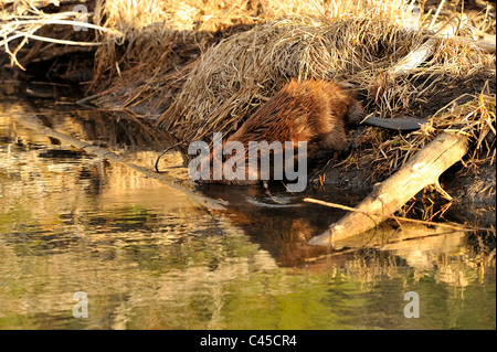 A beaver walking down a slope and entering the open water of his beaver pond - Stock Photo